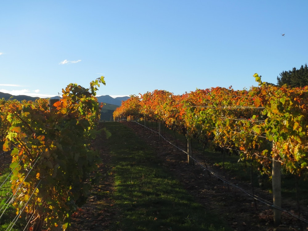 Vineyard in New Zealand | New Zealand holiday