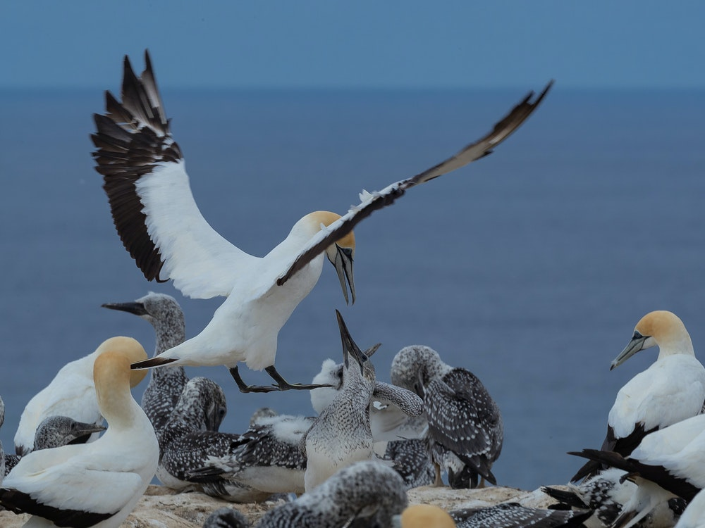 Gannet colony | New Zealand wildlife