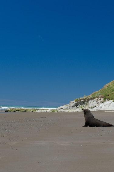 Nz otago peninsula beach seal 2 discoverpage detail regions