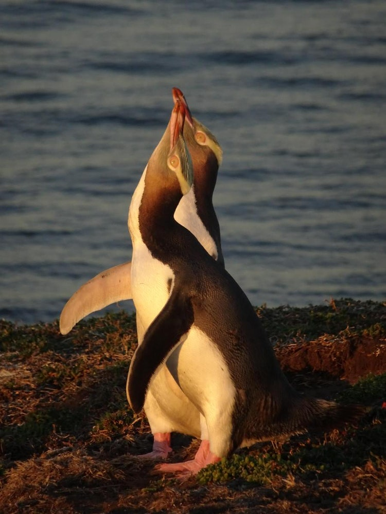 Yellow-eyed penguin | New Zealand wildlife