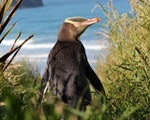 Yellow-eyed penguin | New Zealand wildlife