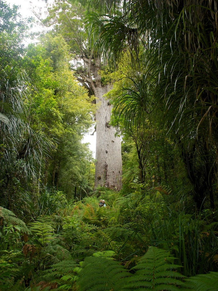 Explore Waipoua Forest | New Zealand nature