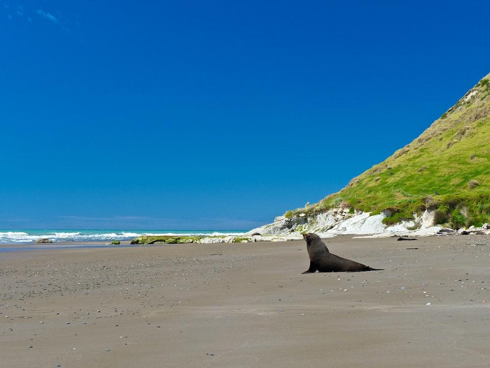 Seal on the beach at Otago Peninsula | New Zealand wildlife