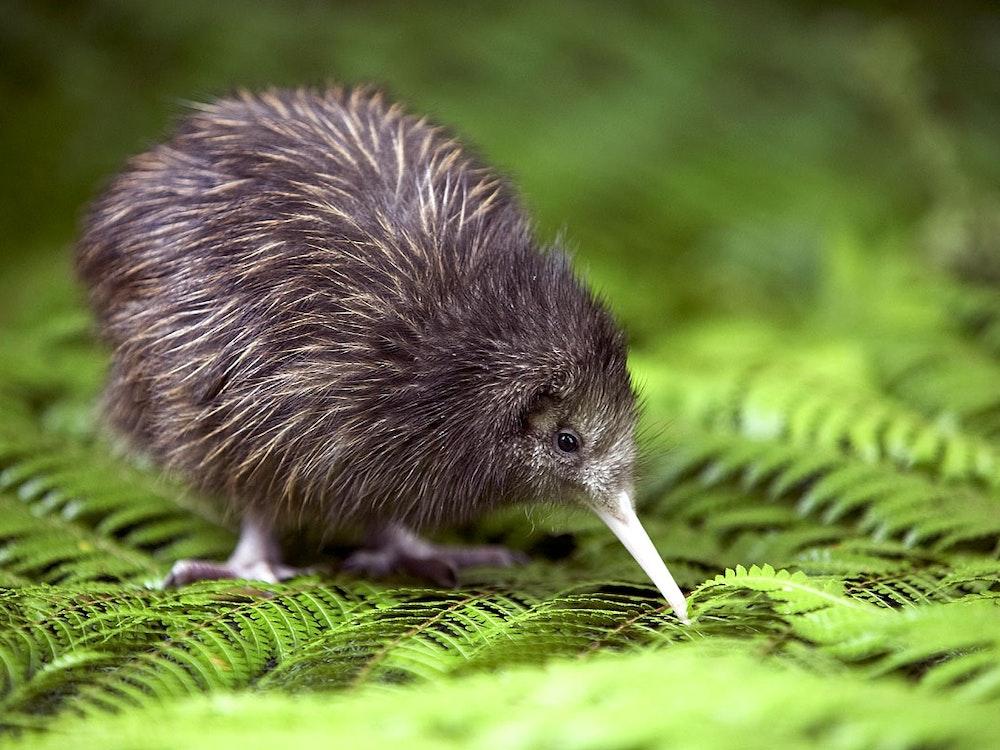 Kiwi on Stewart Island   New Zealand wildlife