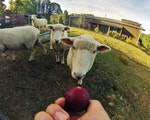Feeding sheep in the backyard of your cottage | New Zealand holiday
