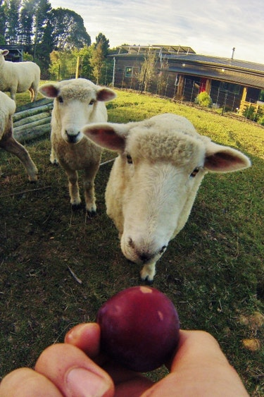 Nz mapua farm cottage sheep family stays very comfortable