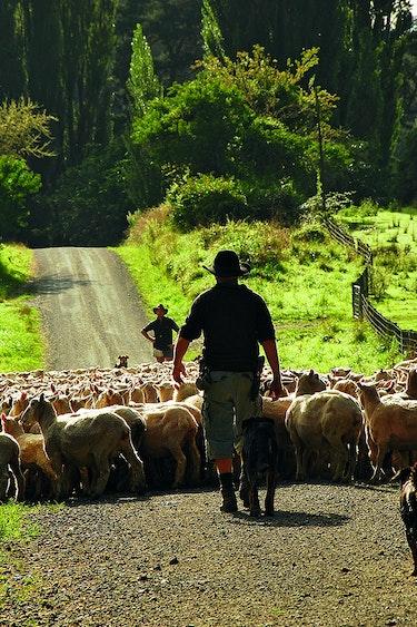 Nz blue duck station farmers sheep family header