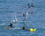 Dolphins jumping around | New Zealand wildlife