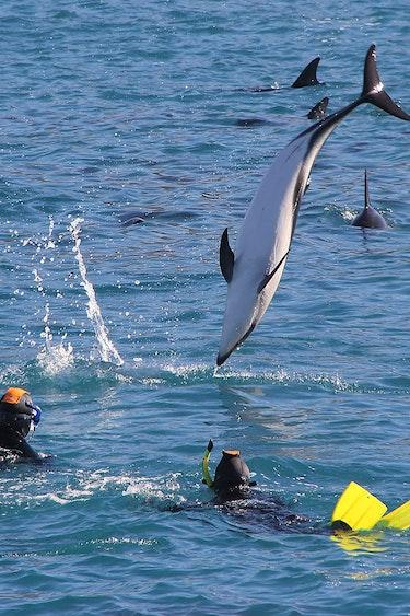 Nz kaikoura dolphin swim jump family see and do active