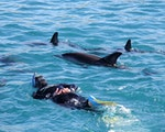 Snorkling and swimming with dolphins | New Zealand active holiday