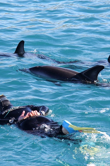 Nz kaikoura dolphin swim snorkel family see and do active