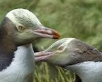 Yellow eyed pinguins | New Zealand wildlife