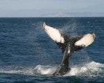 Whale watching in Queen Charlotte Sound   New Zealand wildlife