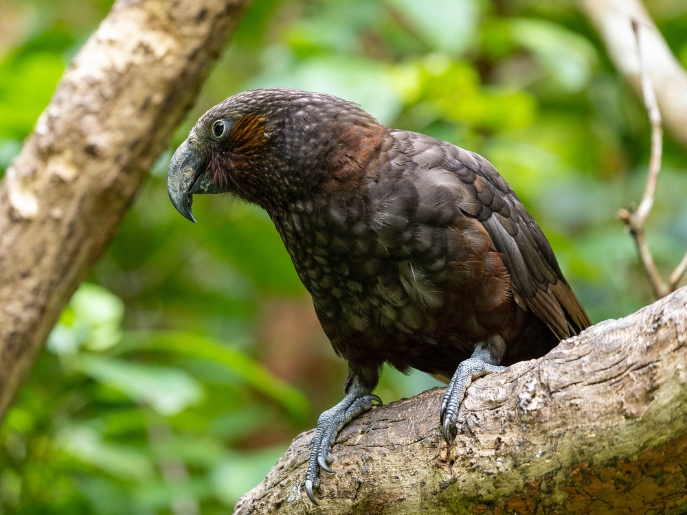 The New Zealand kaka | New Zealand wildlife