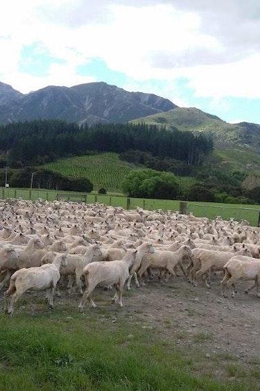 Fam Kiworr NZ 2017 Lynton Down Farmstay Schafherde