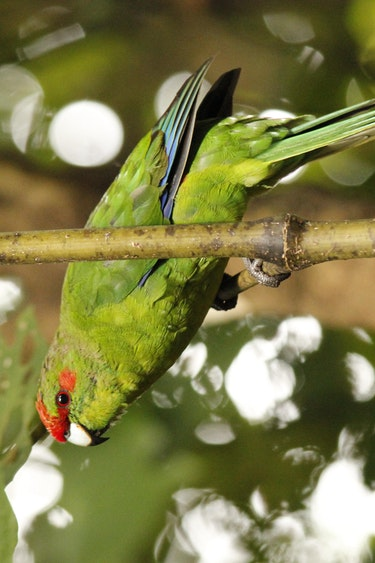 Nz kapiti island colorful bird solo partner see and do easy going