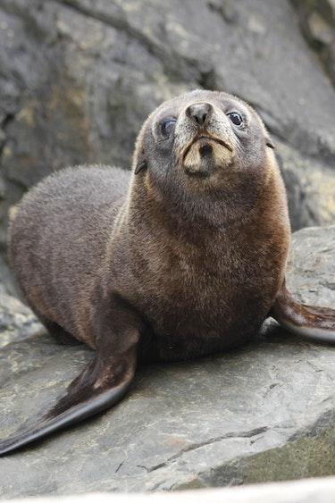 Nz kapiti island animal seal nature stays very comfortable