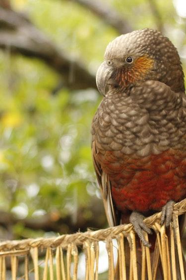 Nz kapiti island bird spotting nature stays very comfortabl