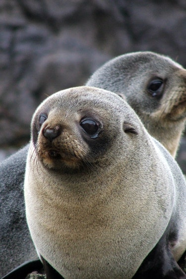 Nz otago peninsula fur seal spotting solo see and do easy going