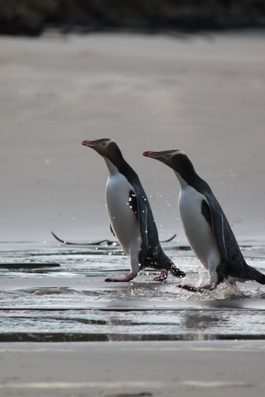 Nz otago peninsula penguin beach spotting solo see and do easy going