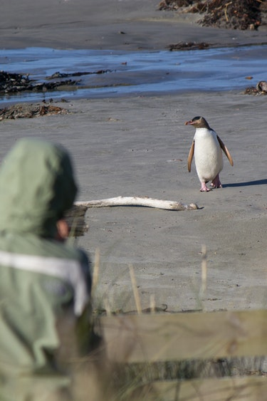 Nz otago peninsula penguin spotting people solo see and do easy going