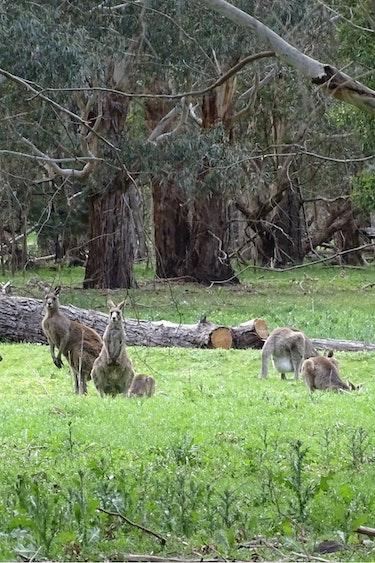Family van holland kangaroos in the grampians