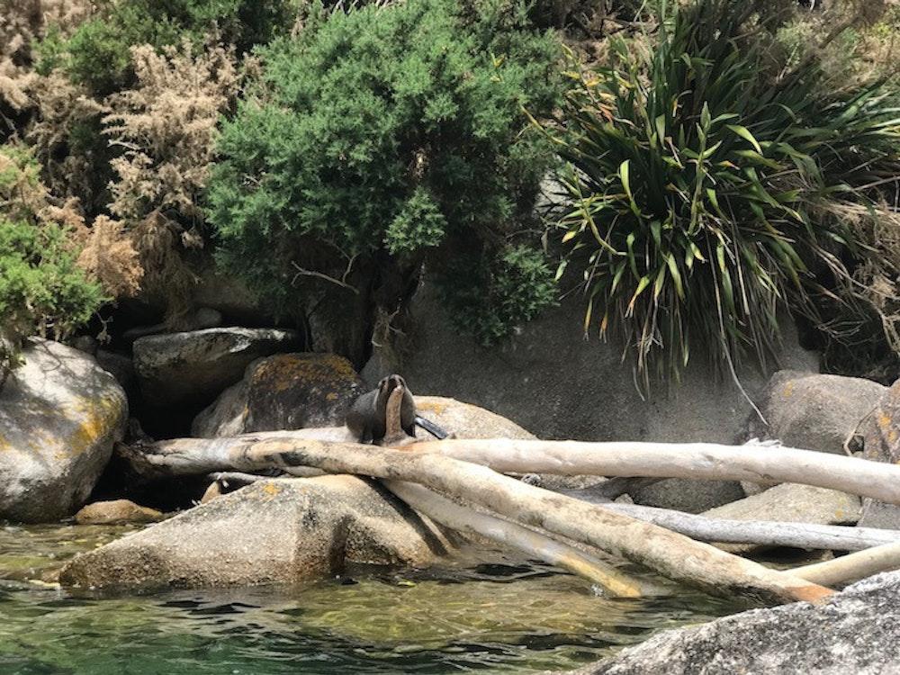 Seal on the rocks, Kaikoura